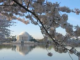 Cherry Blossom Time - Washington DC